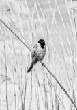 Reed Bunting Norfolk