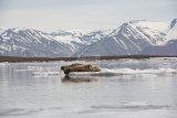 Walrus Liefdefjorden
