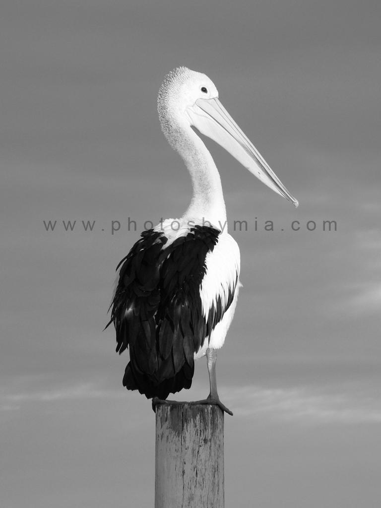 Preening Pelican 3