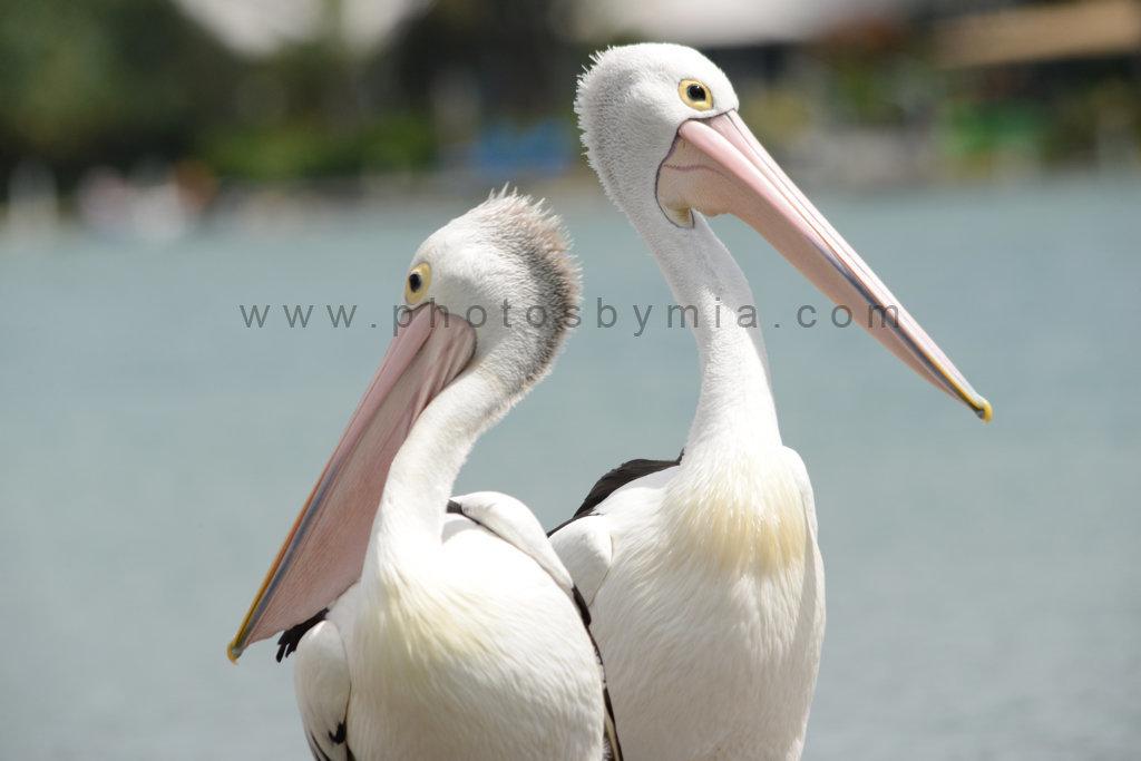 Valentine Pelicans