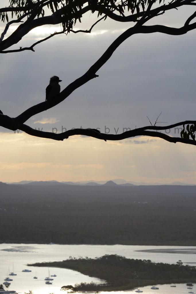 Kookaburra Silhouette
