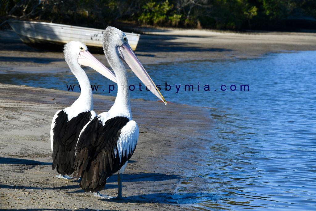 Pelicans of Pelican Waters