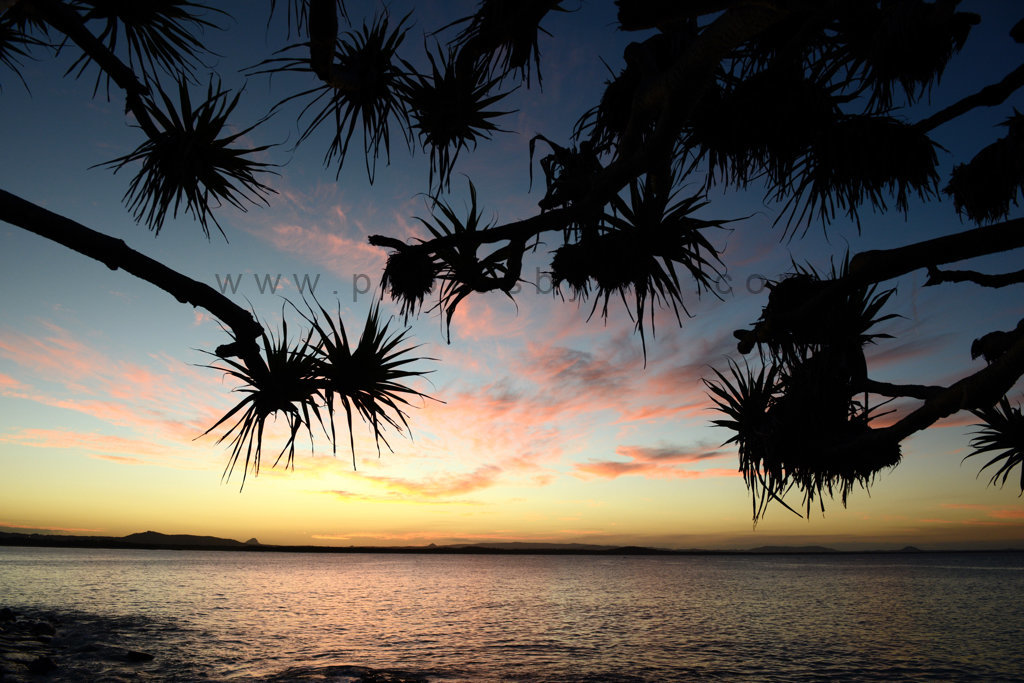 Pandanus Reaching for Sunset