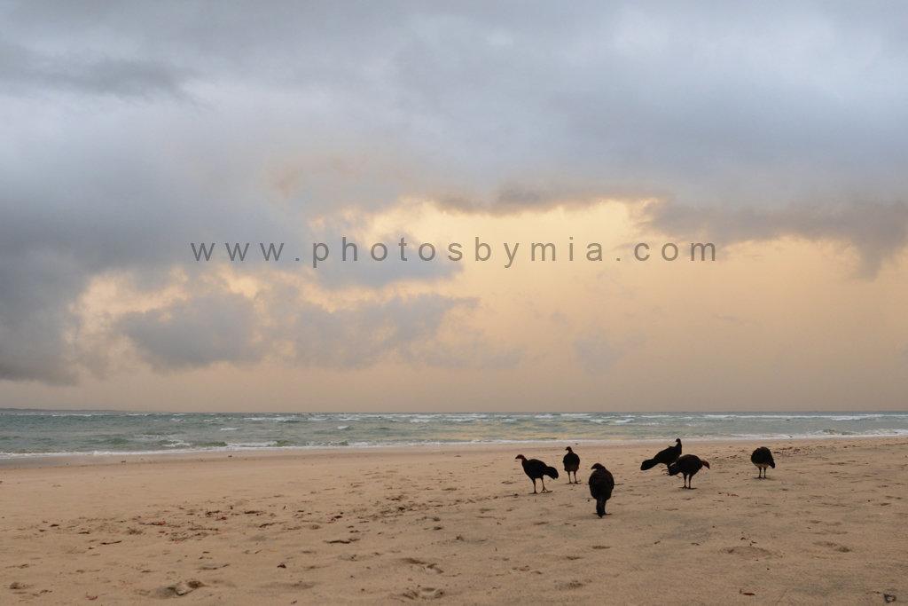 Turkeys on the Beach