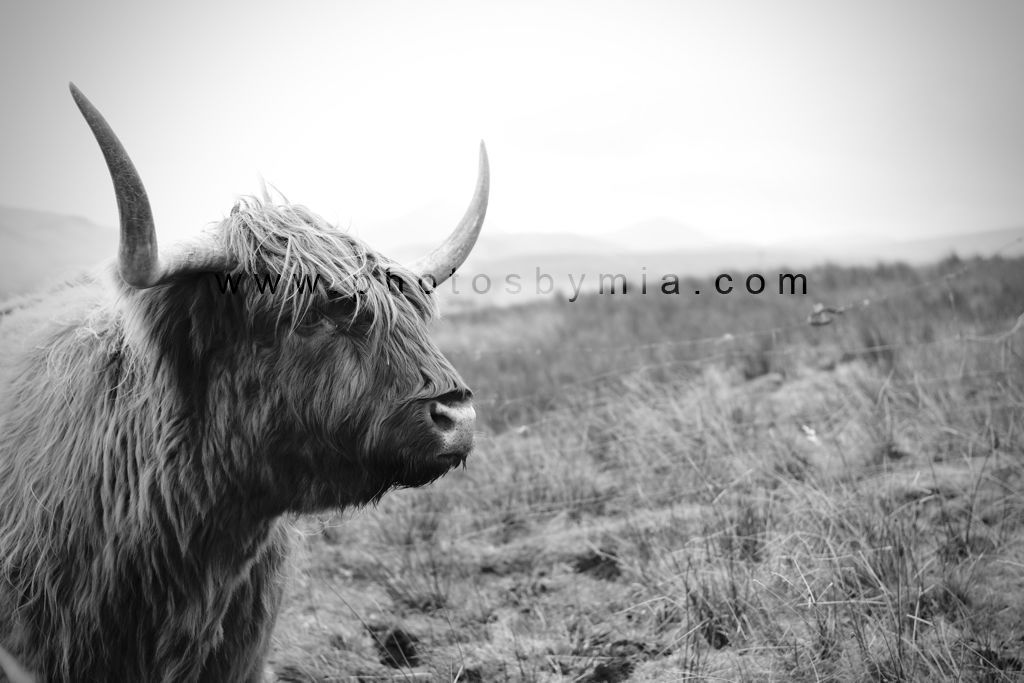 A Hairy Coo in Black and White