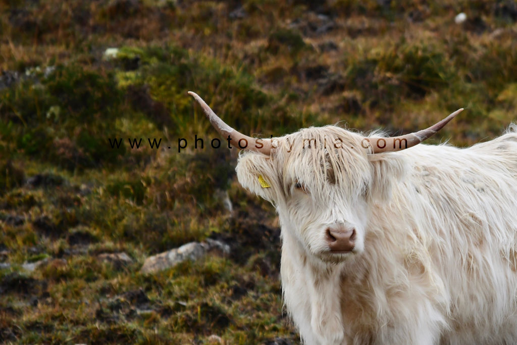 The Ghost Coo