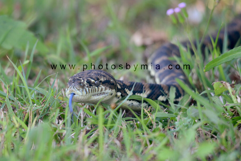 Python in the Grass