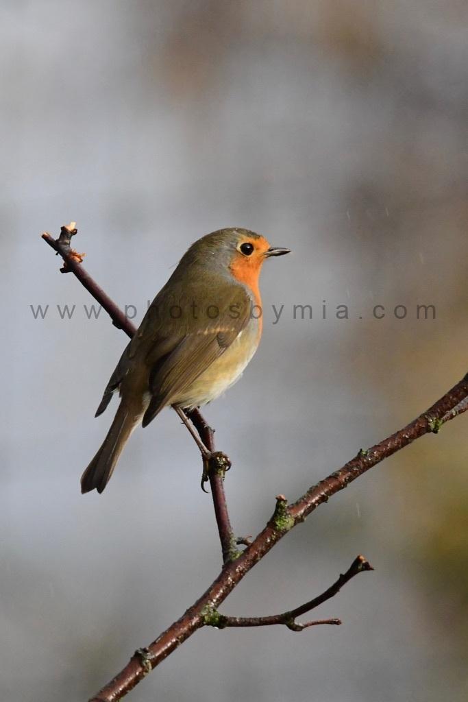 Little Christmas Robin