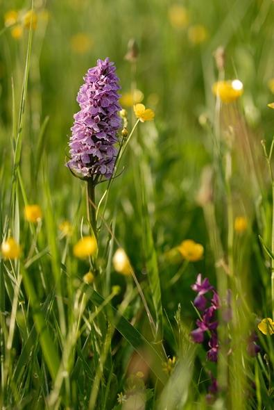 Le Noir Pre Orchid Field