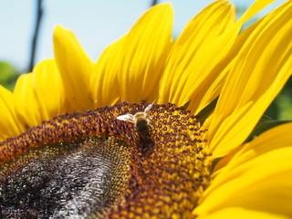 Honey bee and Sunflower