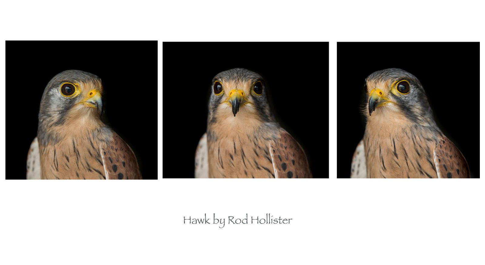 Joint 2nd: Hawk by Rod Hollister