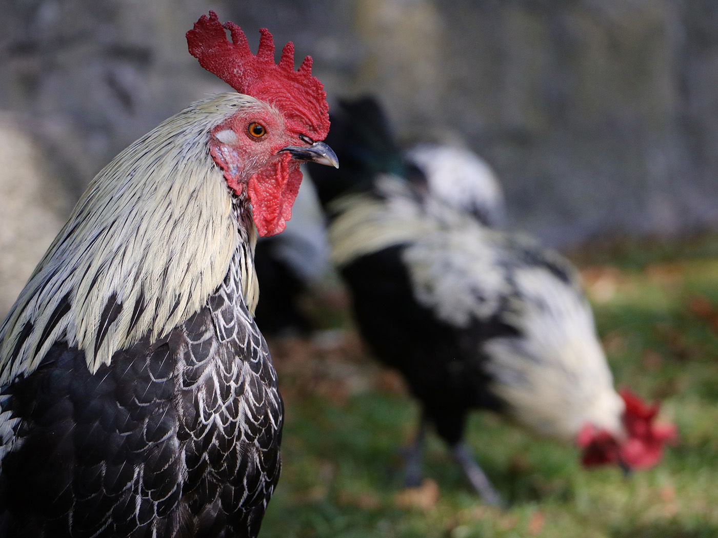 Porto Roosters