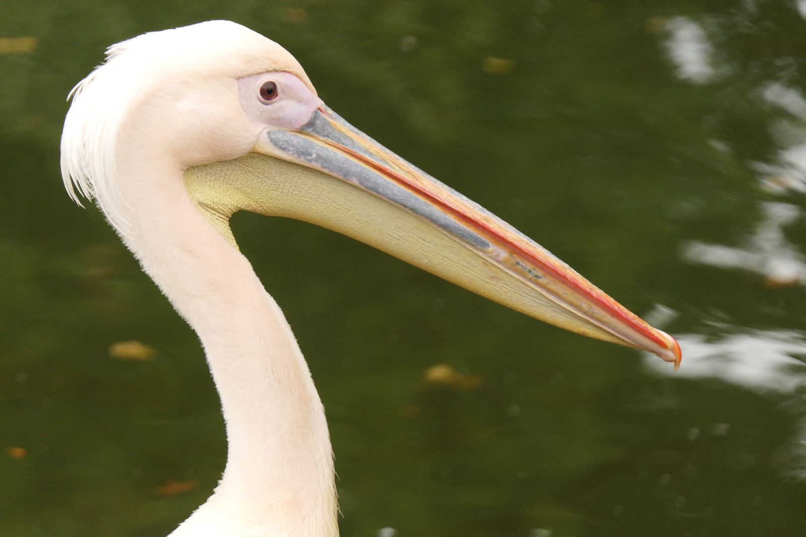 Len Payne pelican