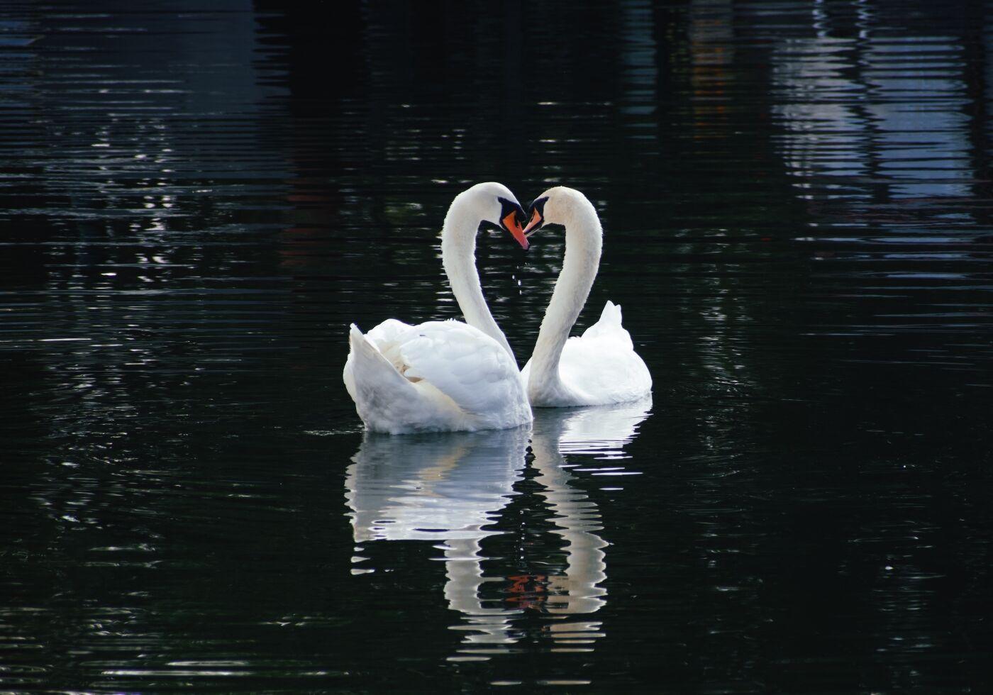Michael Cobb Loving Swans