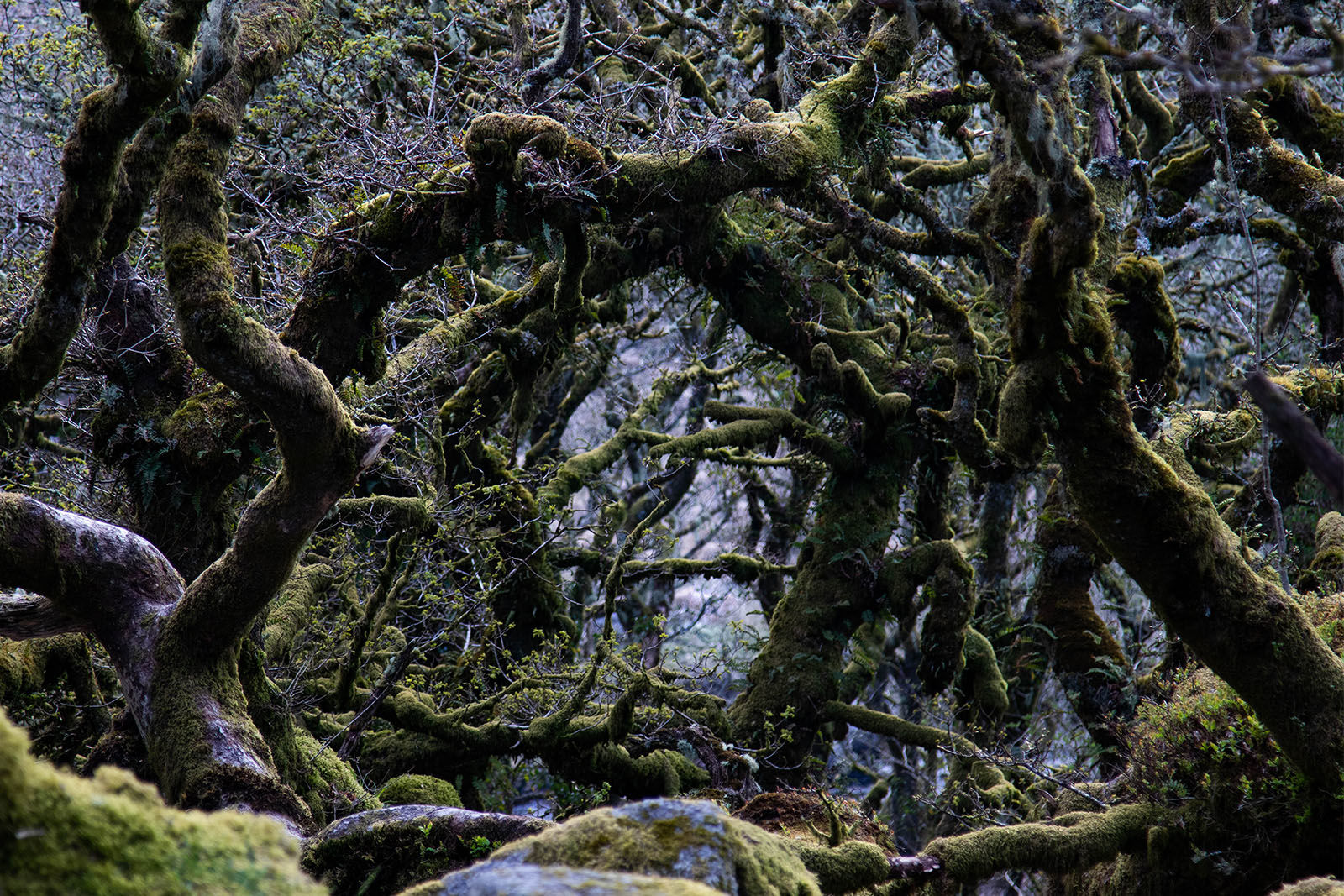The Mysterious Whistman's Wood, Dartmoor