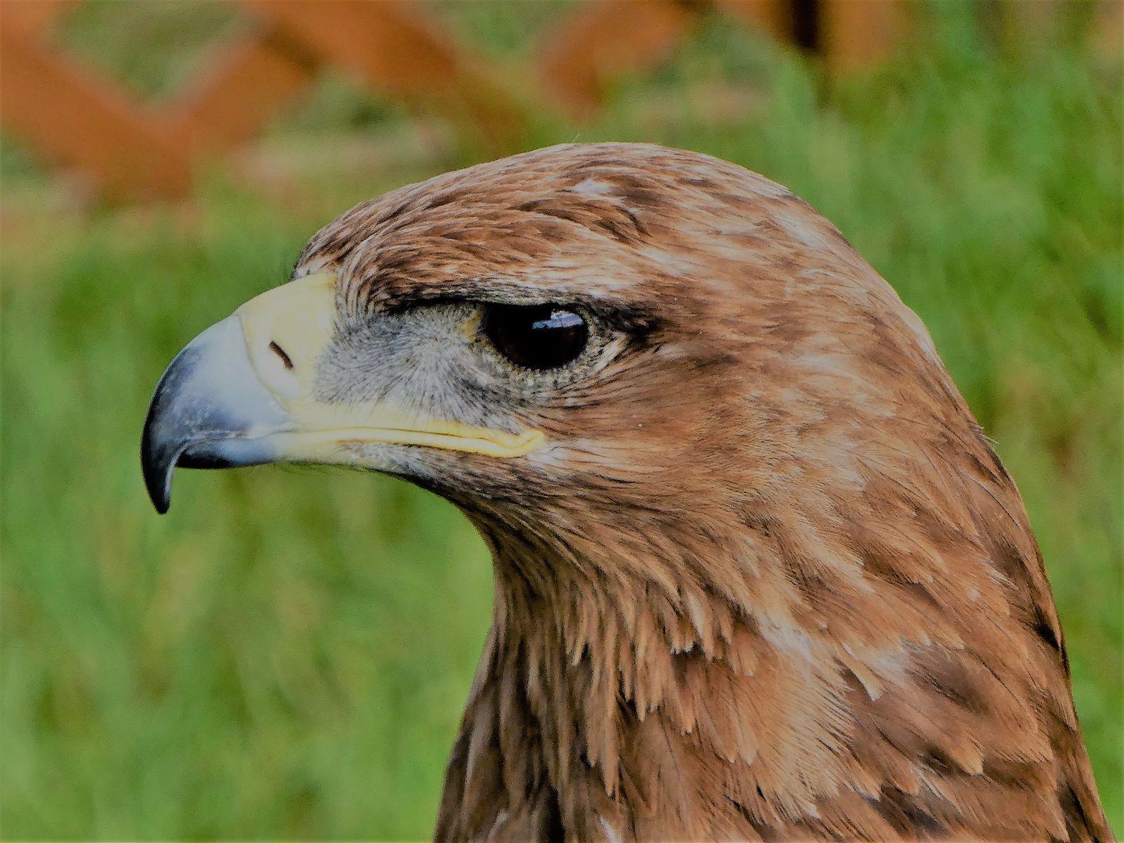 bird of prey--S Kibble