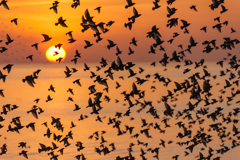 Starlings at sunset in Brighton