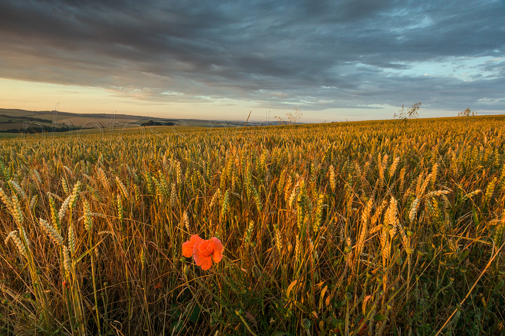 Lone poppy at sunset on the South Downs