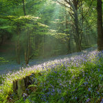Bluebells in a West Sussex woodland