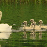 swan with its young
