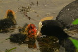 coot feeding they young