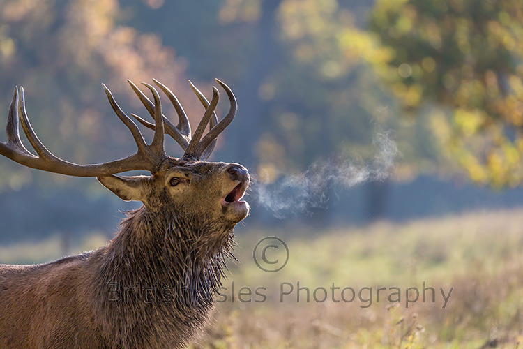 Red Deer Bellowing