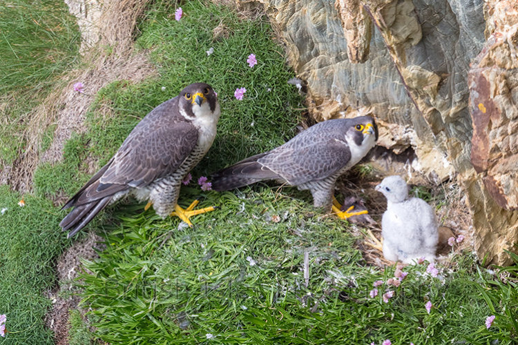 PEREGRINES ON THE LOOKOUT