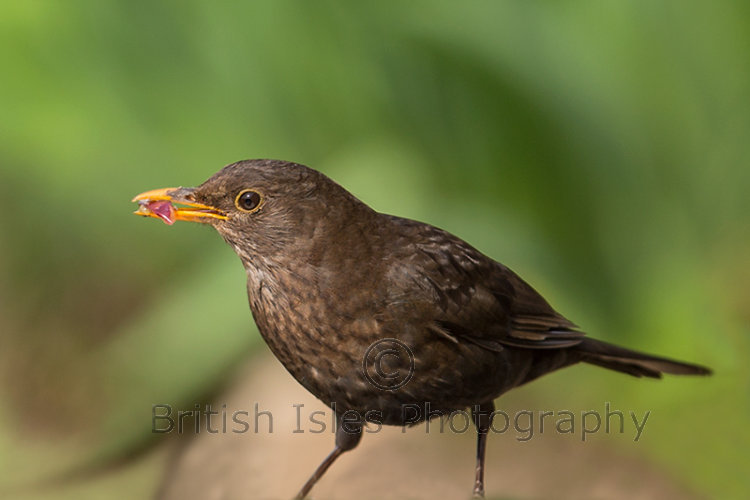 FEMALE BLACKBIRD WITH GRAPE