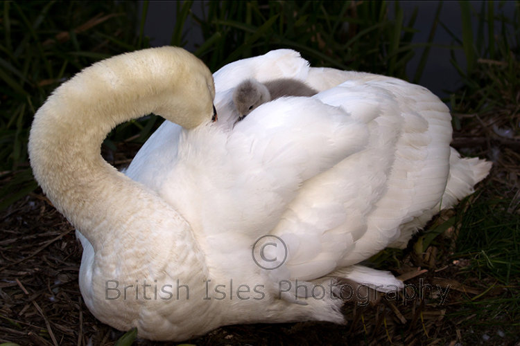 Swan With Cygnet