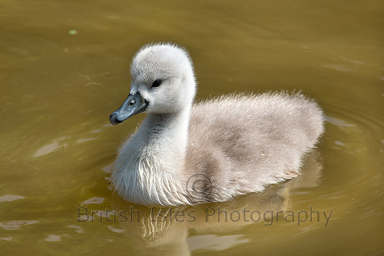Young Cygnet