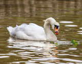 Swan With An Apple