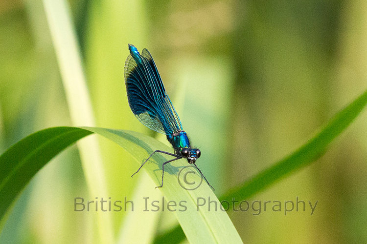 MALE BANDED DAMSELFLY