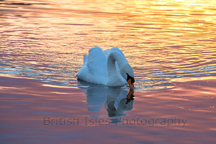 Swan In The Golden Hour