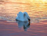 Swan In The Golden Hour