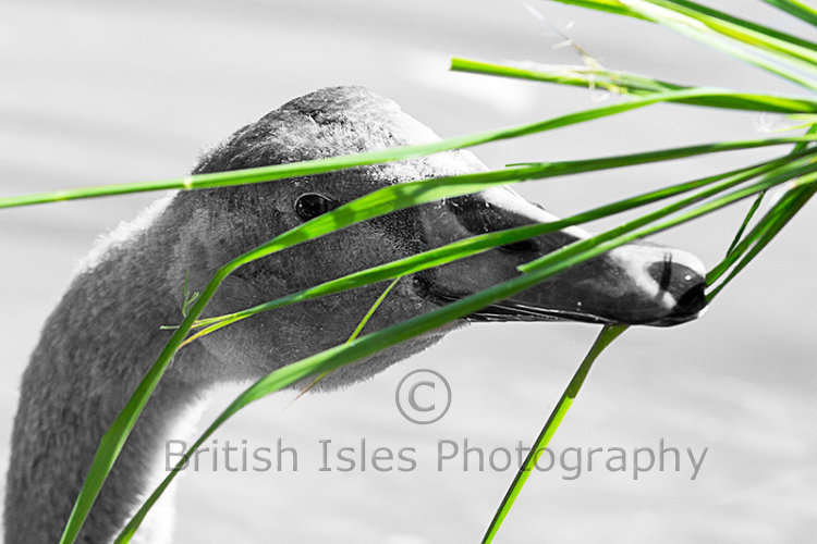 Cygnet Eating Grass