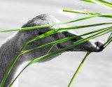 Cygnet Eating Grass