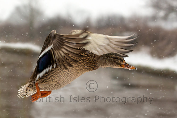 Mallard Duck Flying In Snow
