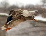 Mallard Duck Flying In Snow