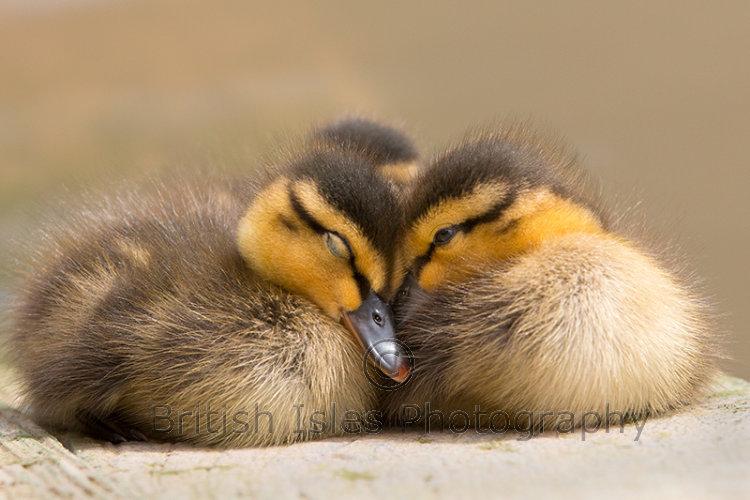 Two Little Ducklings