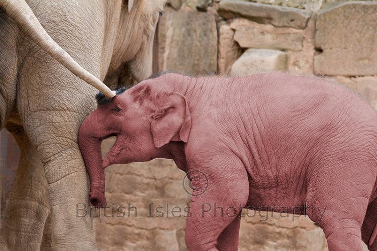ELEPHANT TICKLED PINK
