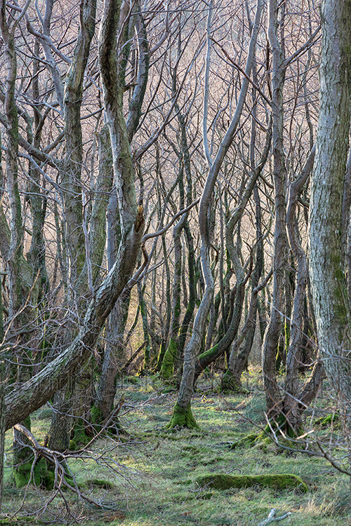 Silvery Wood