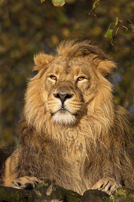 MALE ASIATIC LION