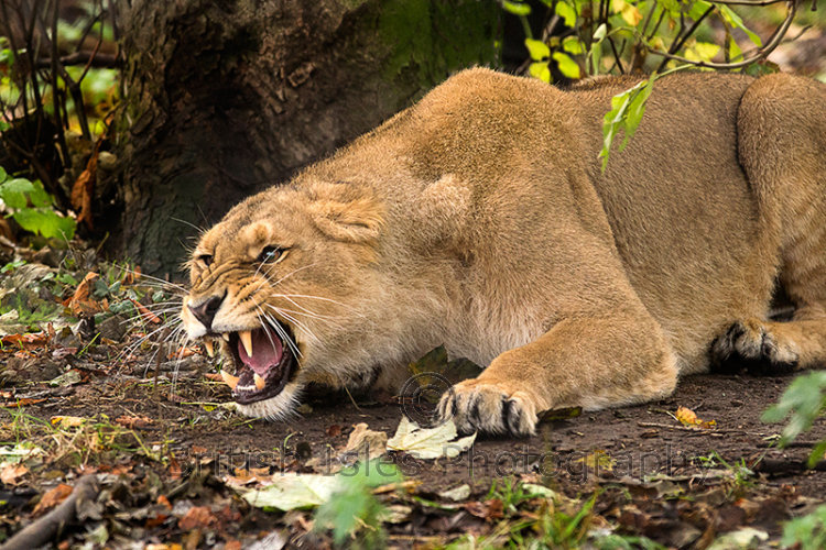 LIONESS GROWLING