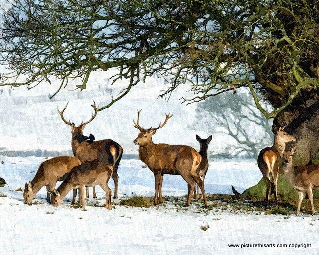 No 43. A herd of deer in the snow.