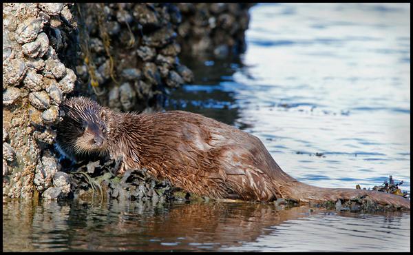Male otter resting below a pier