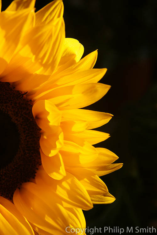 171761  Sunflower