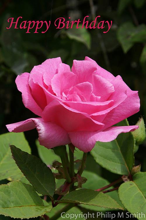 171271 ZR Rose Happy Birthday