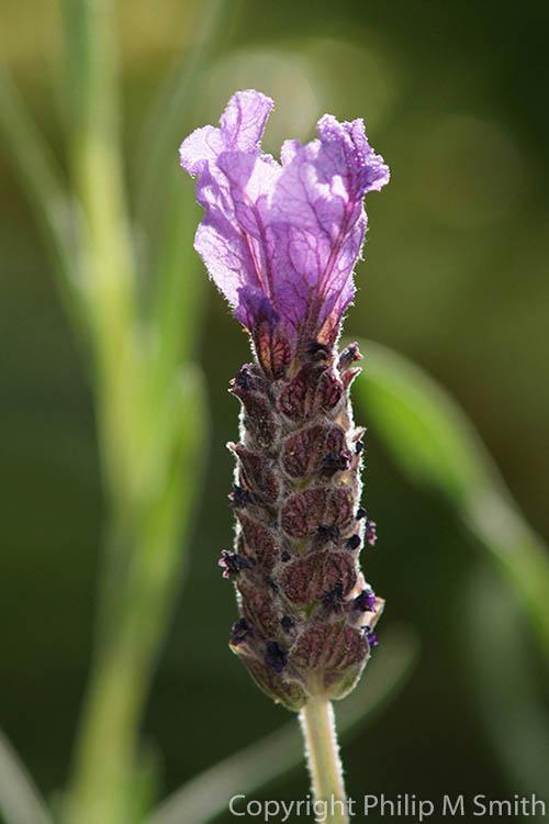 17.1316 Lavender