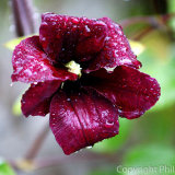 17.0064 Raindrops on Clematis