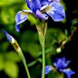 17.1047 Iris